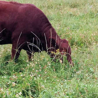 Red angus chowing down
